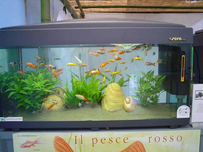 Pesci rossi acquario muoiono accessori acquario marino for Acquario per pesci rossi